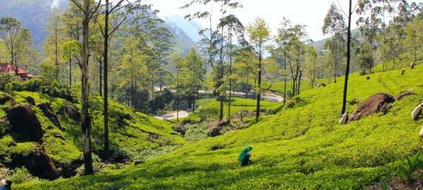 сбор чая на плантация цейлона